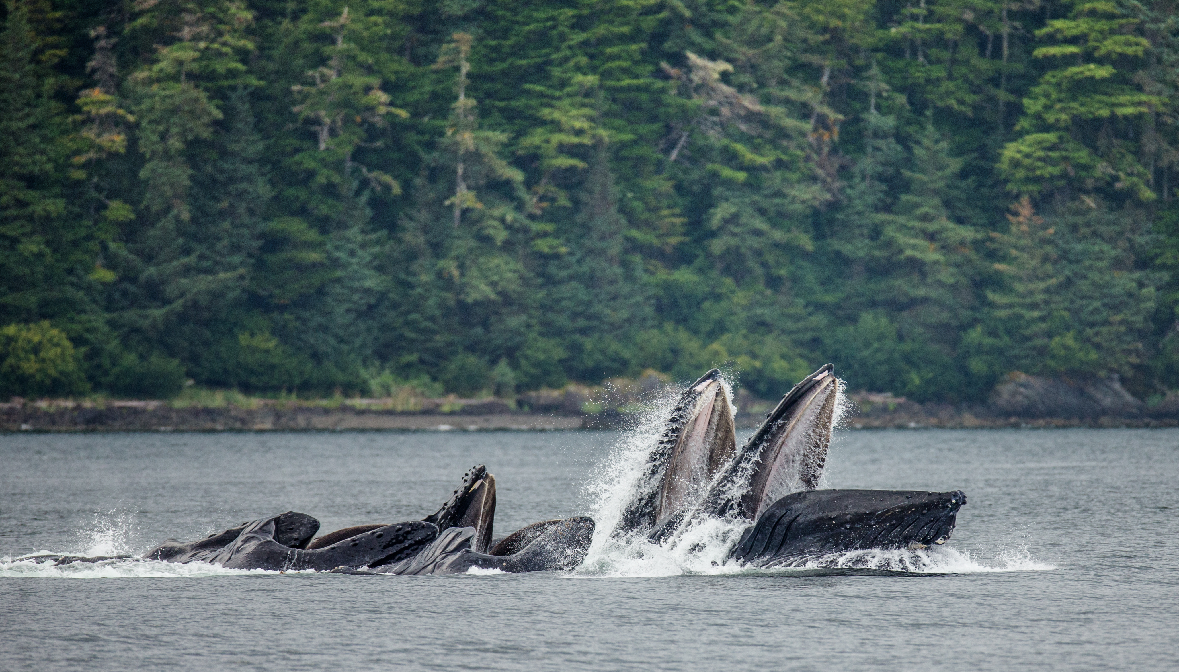 Humpback whale at Admiralty Island
